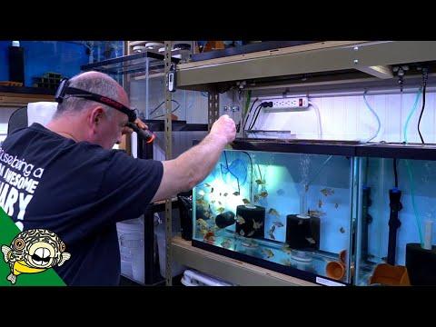 How to Breed German Blue Rams_Legjobb videók: Akvárium