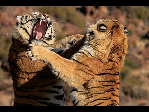 Tiger fight between two male tigers at Tiger Canyons. Help the tiger. Share our post!