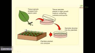 Plant tissue culture basics