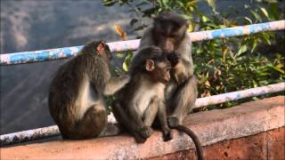 Mahabaleshwar India  city images : Monkeys in Mahabaleshwar (India)
