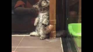 animale pisica tare comica