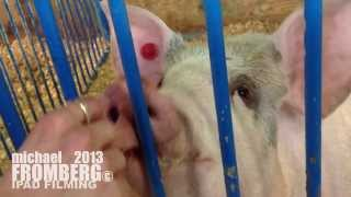 Video Friendly Pig - Michael Fromberg MP3, 3GP, MP4, WEBM, AVI, FLV Agustus 2018