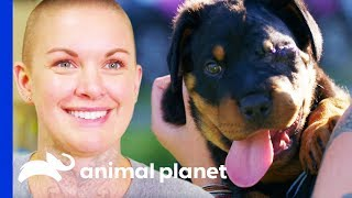 Chunky Rottweiler Pup Gets Much Needed Eye Surgery   Amanda To The Rescue by Animal Planet