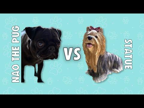 Angry pug vs yorkshire statue