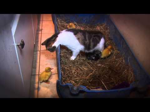 小鴨鴨沒了媽媽以後...竟然被貓咪收養了!!