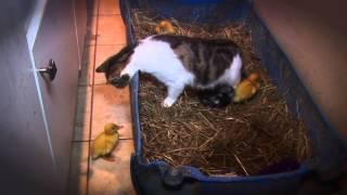Kot został sam w mieszkaniu z trzema malutkimi kaczuszkami! To co nagrała kamera zaskoczyło nawet mnie!