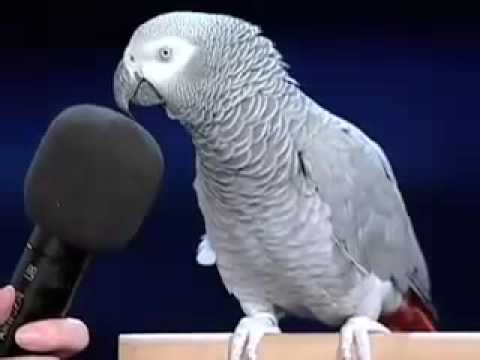 BIRD - Einstein the bird showin off showmanship skills edit: RIP alex, you really showed us how intelliant other animals can be.