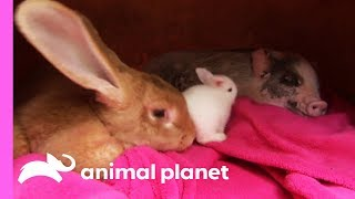 An Unexpected Friendship Between a Rabbit and a Micro Pig! | Too Cute! by Animal Planet
