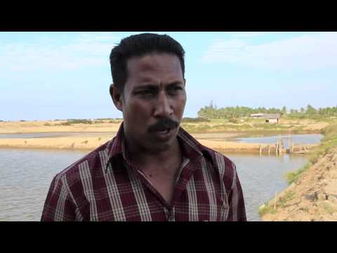 After the tsunami: Shrimp Aquaculture Farming in Aceh