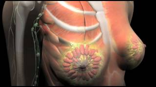 Breast Anatomy Animation | Premier Hematology & Oncology