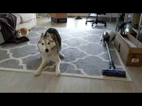 Funny husky play indoors