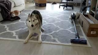 Husky odstawia szaleństwo w domu! Ciężkie musi być życie kotów z takim świrem :D