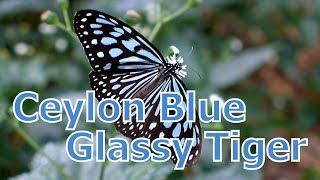 Amami Island Japan  city photos gallery : Ceylon Blue Glassy Tiger / Ideopsis similis - Amami Island, Japan