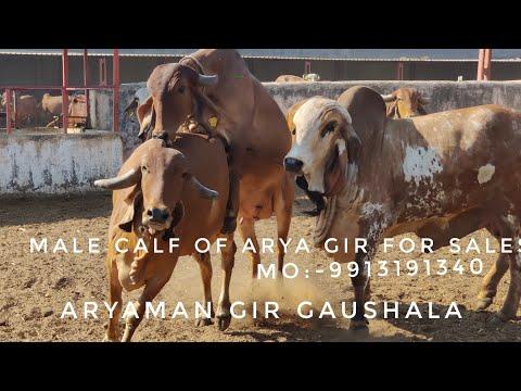 Gir Bull Arya Breeding To Lildi Gaumata at Agg Jasdan