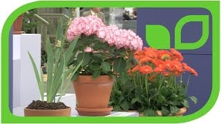 Plant of the year an der Chelsea Flower Show 2014