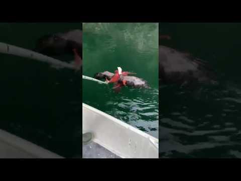 Saving a bald eagle from an octopus.