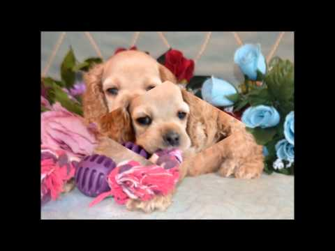 Colby AKC Buff Male Cocker Spaniel Puppy for sale