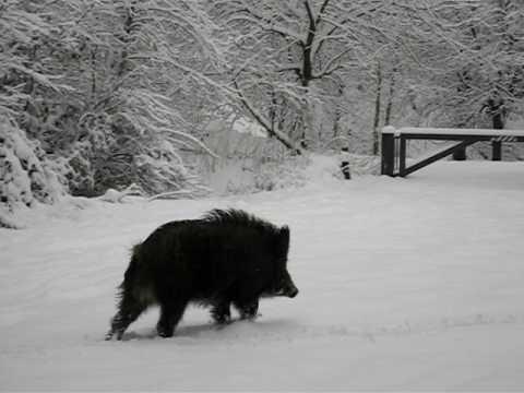 Wild Boar in Snow - Forest of Dean 13-01-2010