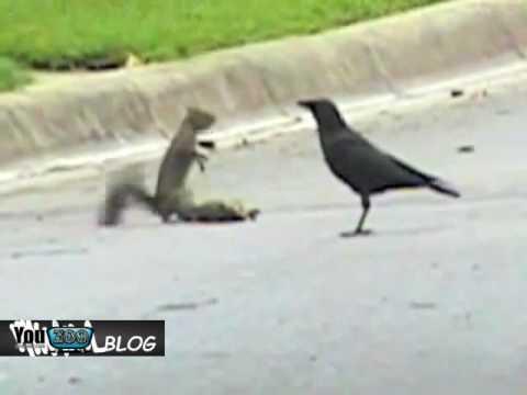 Scoiattolo VS corvi