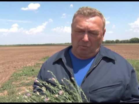 Россельхознадзор выявил очаг горчака в Ростовской области