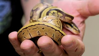 WHAT'S HAPPENING WITH MY BABY TWIN SNAKES?? | BRIAN BARCZYK by Brian Barczyk