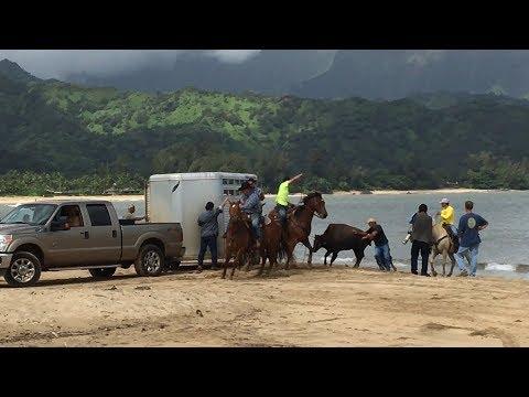 Bison roundup Kauai