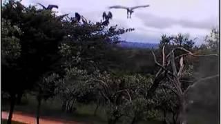 Nonton Africam The Vulture Restaurant 6 Dec 2013 Vultures Film Subtitle Indonesia Streaming Movie Download