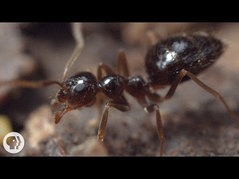 Winter is Coming For These Argentine Ant Invaders