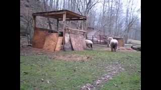 Попрыгунья овца