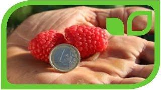 #780 Tipps und Tricks zu Himbeeren - Easy Gardening Teil 19 von 35
