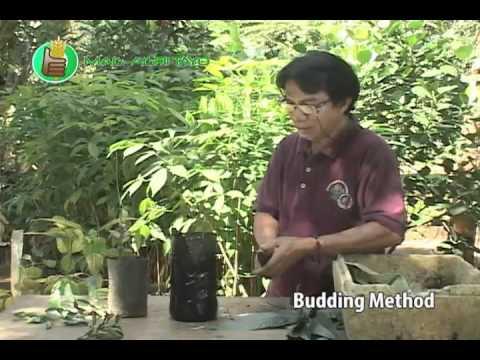 asexual plant propagation: budding & marcotting