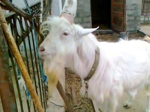 Чистокровный зааненский козёл продолжатель рода козлиного