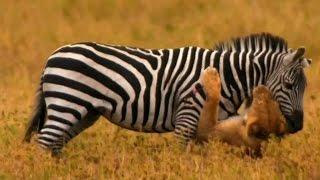 Nonton Lions Attacking Zebra   Lion Vs Zebra 2016 Film Subtitle Indonesia Streaming Movie Download
