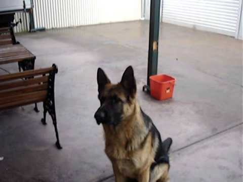 Eight Month Old German Shepherd Being Trained