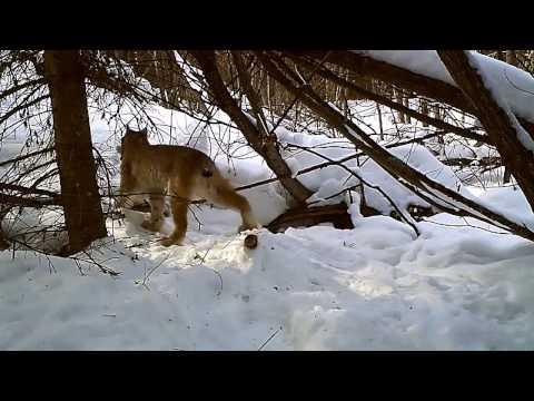 ловить рысь видео