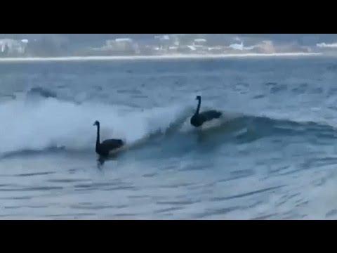 視頻中顯示原來在澳洲的黑天鵝竟然會…看完整個被嚇到目瞪口呆了!