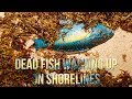 Dead Fish Washing Up On Shorelines, Sept 18 2017