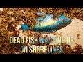 Dead Fish Washing Up On Shorelines, Sept 18 2017