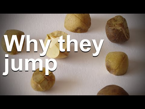 Why Do Mexican Jumping Beans Jump