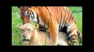 Download Video Harimau dan Singa Kawin Dengan Pasangan MP3 3GP MP4