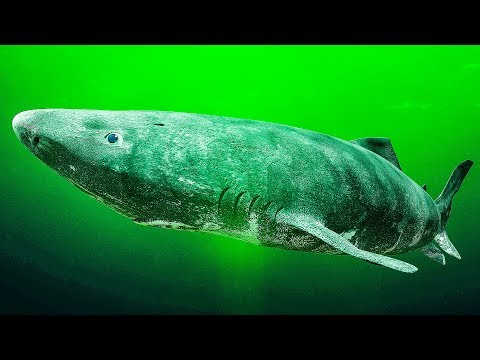Los científicos descubrieron el tiburón vivo más antiguo que podría tener 512 años de edad