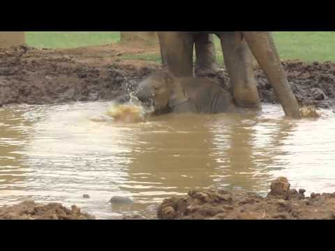 elephant - Baby elephant Navann plays in the mud pit and takes a dip in the river with his mother and nanny at Elephant Nature Park in Mae Tang, Chiang Mai, northern Th...