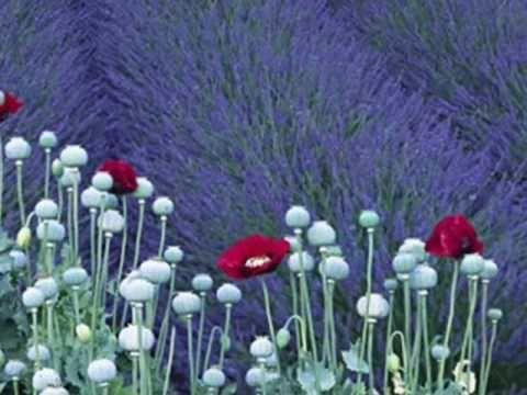 Jackie Oates : Lavender's Blue