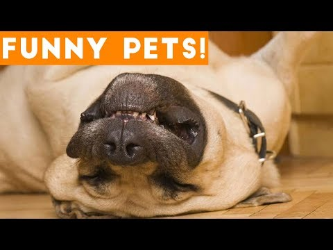 Funny animals - Funniest Pets & Animals of the Week Compilation June 2018  Hilarious Try Not to Laugh Animals Fail