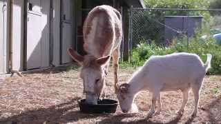 Touching Friendship Between Goat And Donkey