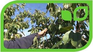 Die Erziehung des diagonalen Kirschbaums Teil 2