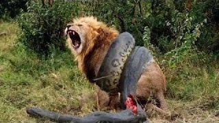 Anaconda vs Tiger and Jaguar full download video download mp3 download music download