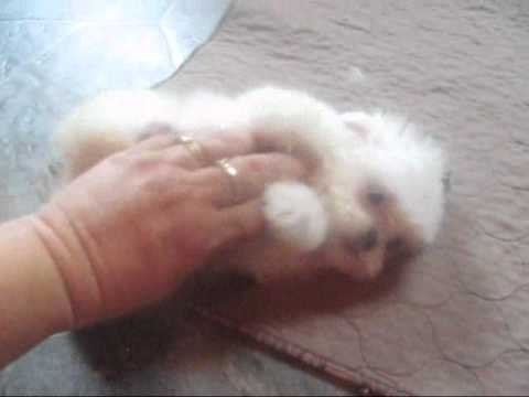 Meet Kasidy our Fuzzy Wuzzy Puppy Shichon puppies for sale, teddy bear Puppies, zuchon puppies