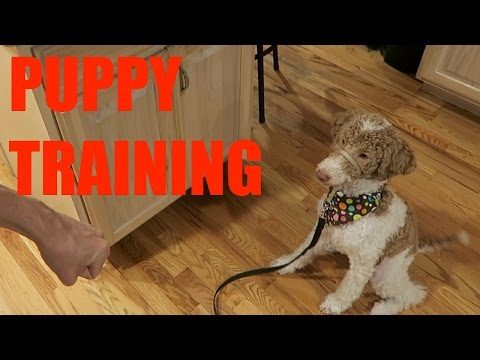 SERVICE DOG IN TRAINING - PUPPY LEARNS THE BASICS 🐶
