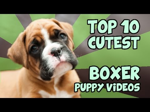 top 10! video teneri boxer.